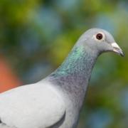 Jonge duiven - Pro Bel