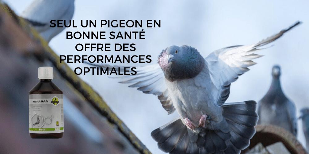 Un pigeon sain