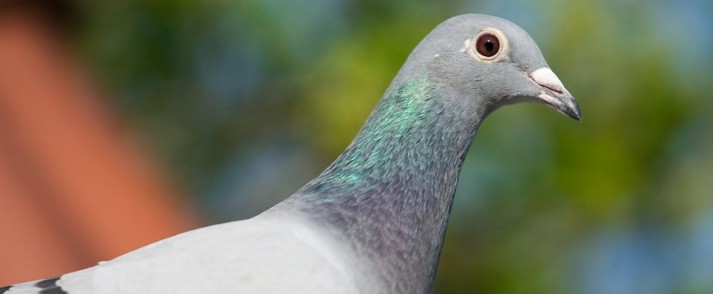 Young pigeon disease Pro Bel Fly